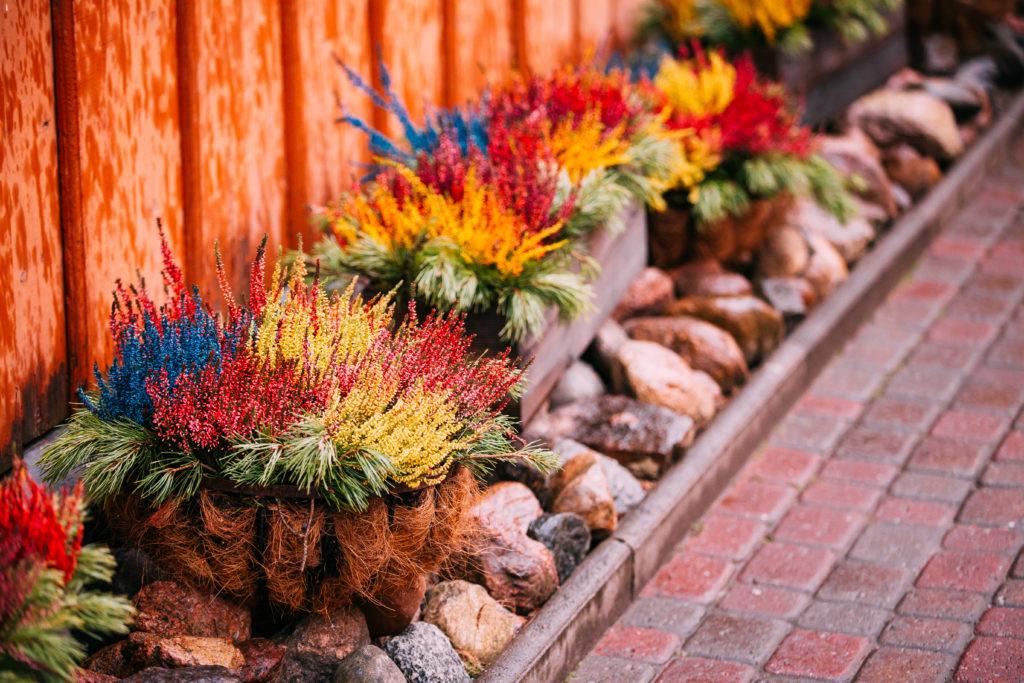 Bush of colorful calluna plants in pots in garden pflcawx