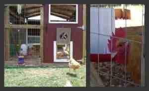 Noelle Moser Chickens