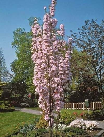 Small space landscaping japanese cherry tree