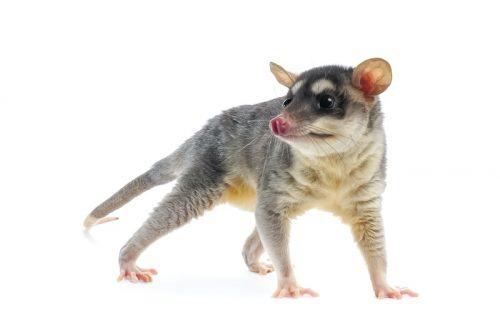 Mobile home pest control tips - opossum